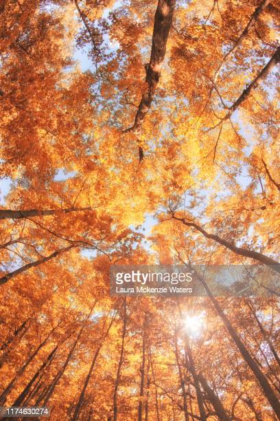 fall forest - image stock pictures, royalty-free photos & images