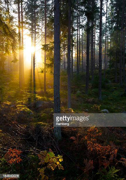 fall forest - sweden stock pictures, royalty-free photos & images