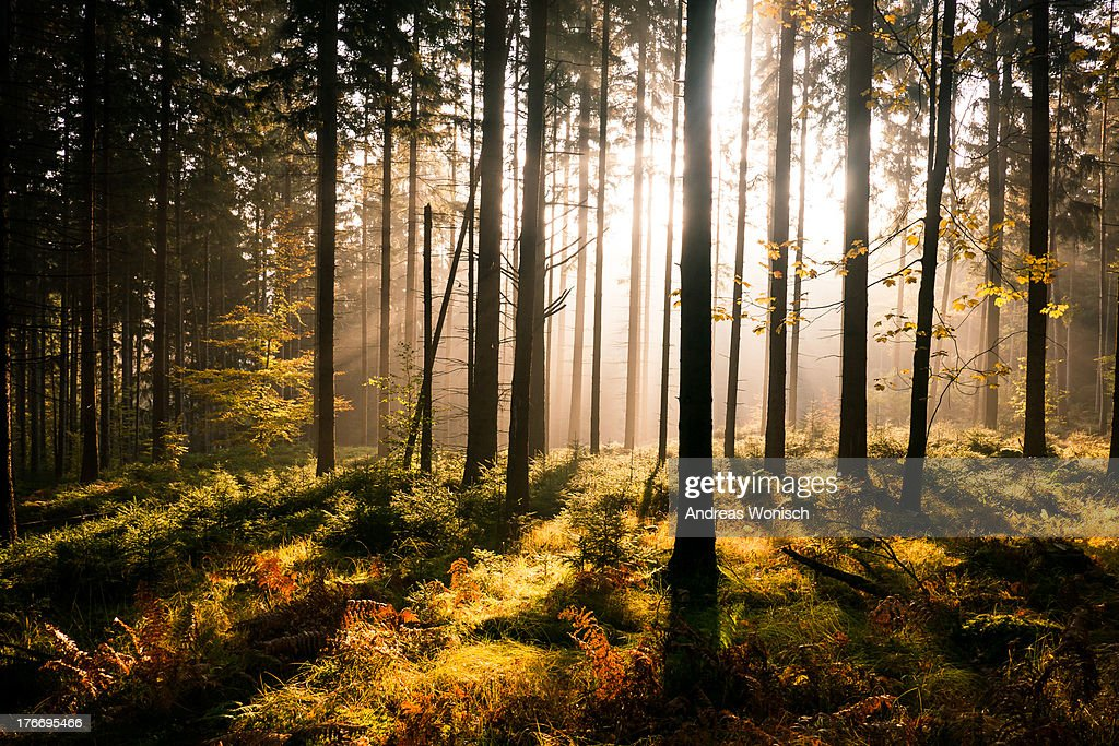 Fall Forest with Sunrays : Stock Photo