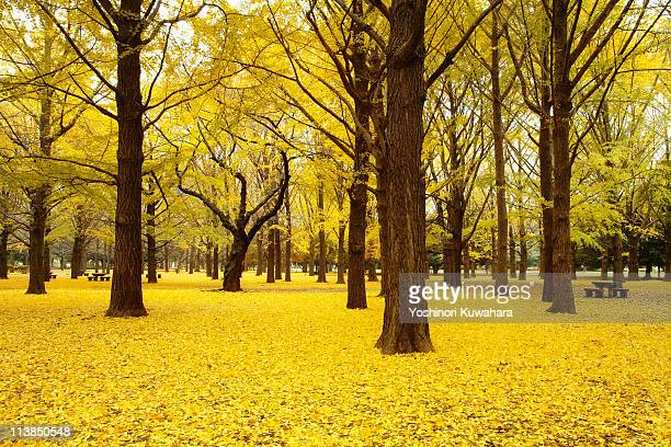 fall ginkgo tree - ginkgo tree stock pictures, royalty-free photos & images