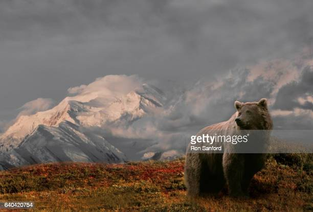 fall grizzly against the alaska range. - grizzlies stock pictures, royalty-free photos & images