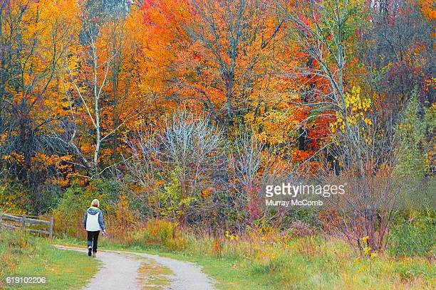 fall hike into golden beech forest - murray mccomb stock pictures, royalty-free photos & images
