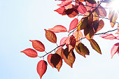 http://www.istockphoto.com/photo/fall-in-the-forest-spring-tree-with-red-leaves-and-rays-of-sun-light-gm960104048-262183548