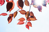 http://www.istockphoto.com/photo/fall-in-the-forest-spring-tree-with-red-leaves-and-rays-of-sun-light-gm960106140-262183630
