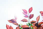 http://www.istockphoto.com/photo/fall-in-the-forest-spring-tree-with-red-leaves-and-rays-of-sun-light-gm960106210-262183642