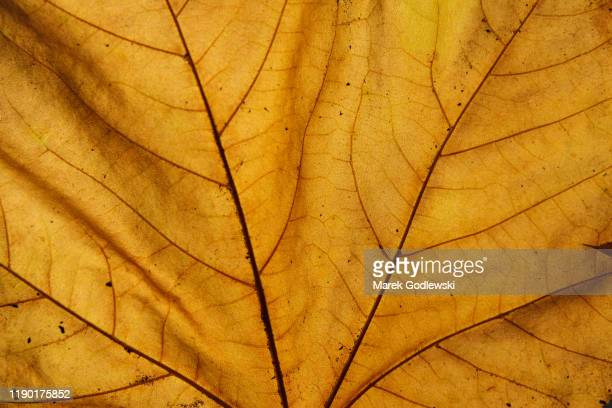 fall leaf close up details - leaf stock pictures, royalty-free photos & images