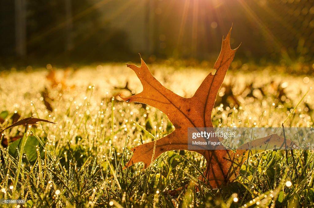 Fall Leaf in Morning Sun : Stock Photo