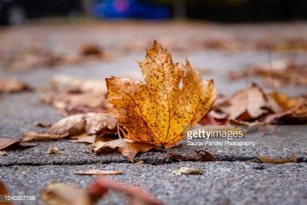 fall leaf - brown stock pictures, royalty-free photos & images