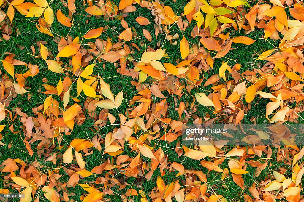 Fall leafs on grass : Stock Photo