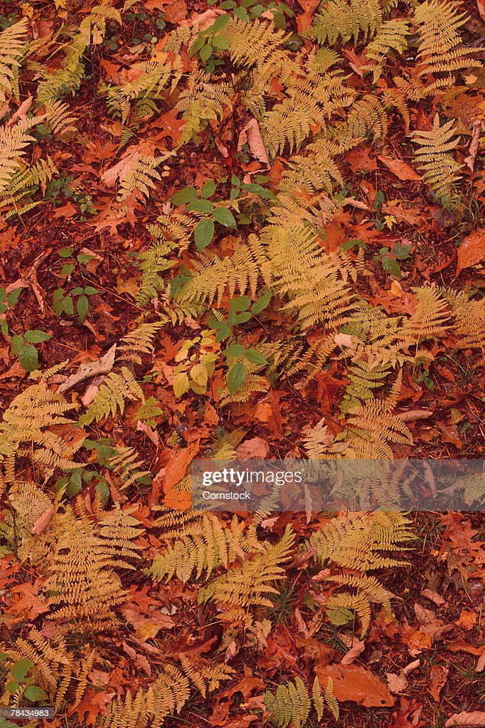 Fall leaves and ferns on forest floor : Stockfoto