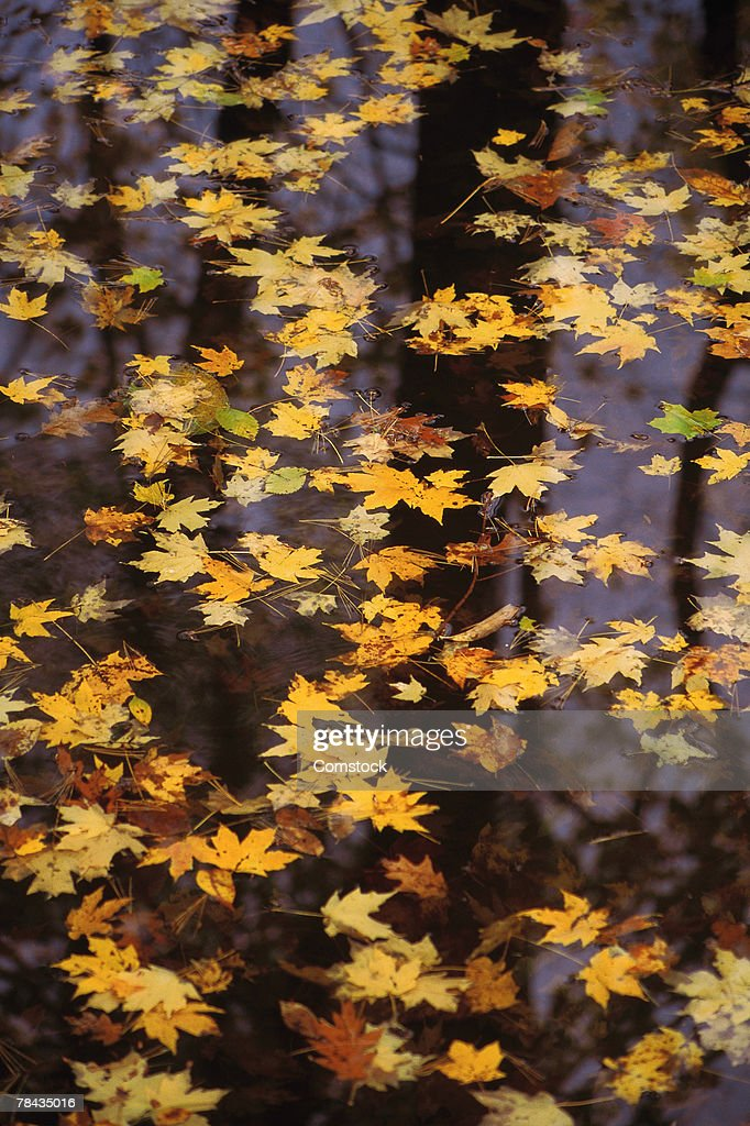 Fall leaves floating on water : Stockfoto