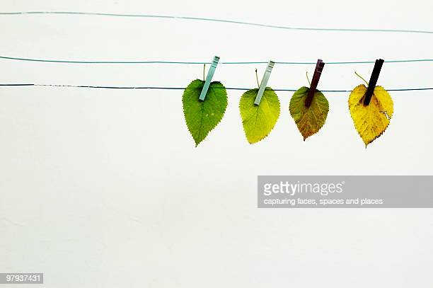 Fall leaves hanging on a clothes line