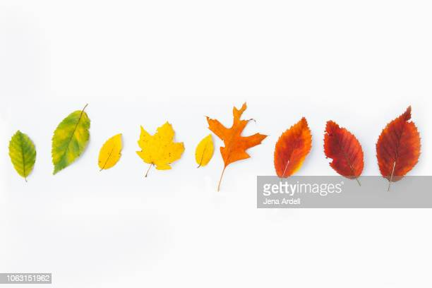 fall leaves isolated, autumn leaves isolated, autumn leaves on white, fall leaves on white, fall leaves white background, row of leaves - 紅葉 ストックフォトと画像