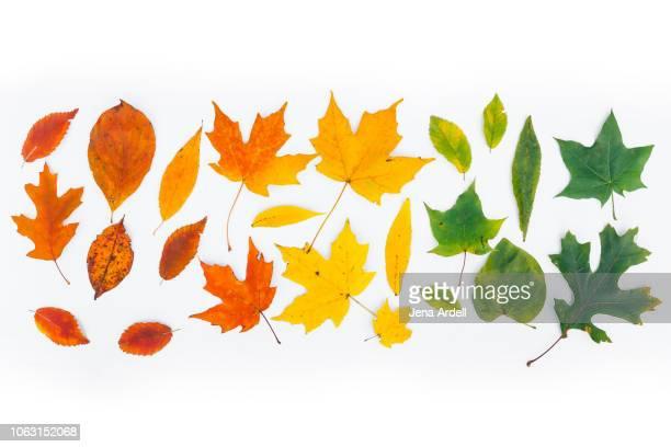 fall leaves on white, fall leaves white background, fall leaves isolated, autumn leaves white background, fall hero image, fall leaves background - esdoornblad stockfoto's en -beelden