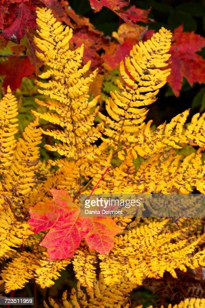 fall maple leaf in ferns, hiawatha national forest, upper peninsula of michigan, usa - hiawatha national forest stock pictures, royalty-free photos & images