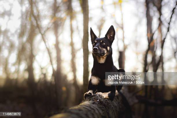 fall - australian kelpie stock pictures, royalty-free photos & images