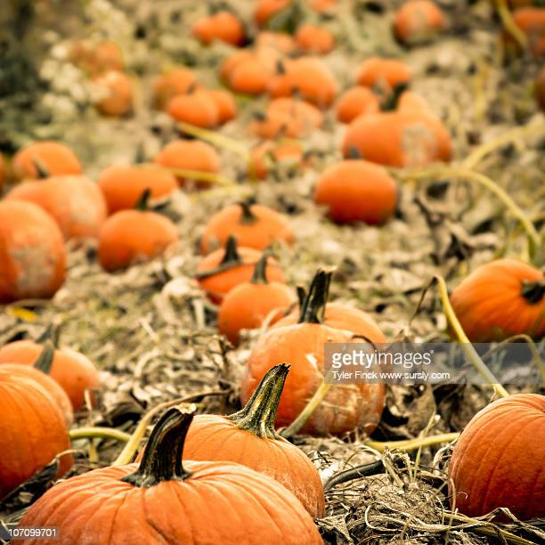 fall pumpkin patch - sursly stock pictures, royalty-free photos & images