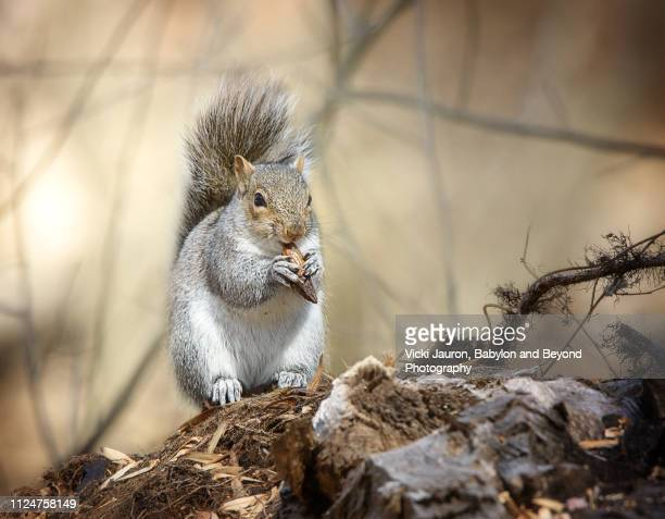 fall scene with squirrel eating nut at caumsett state park, long island - huntington suffolk county new york state stock pictures, royalty-free photos & images