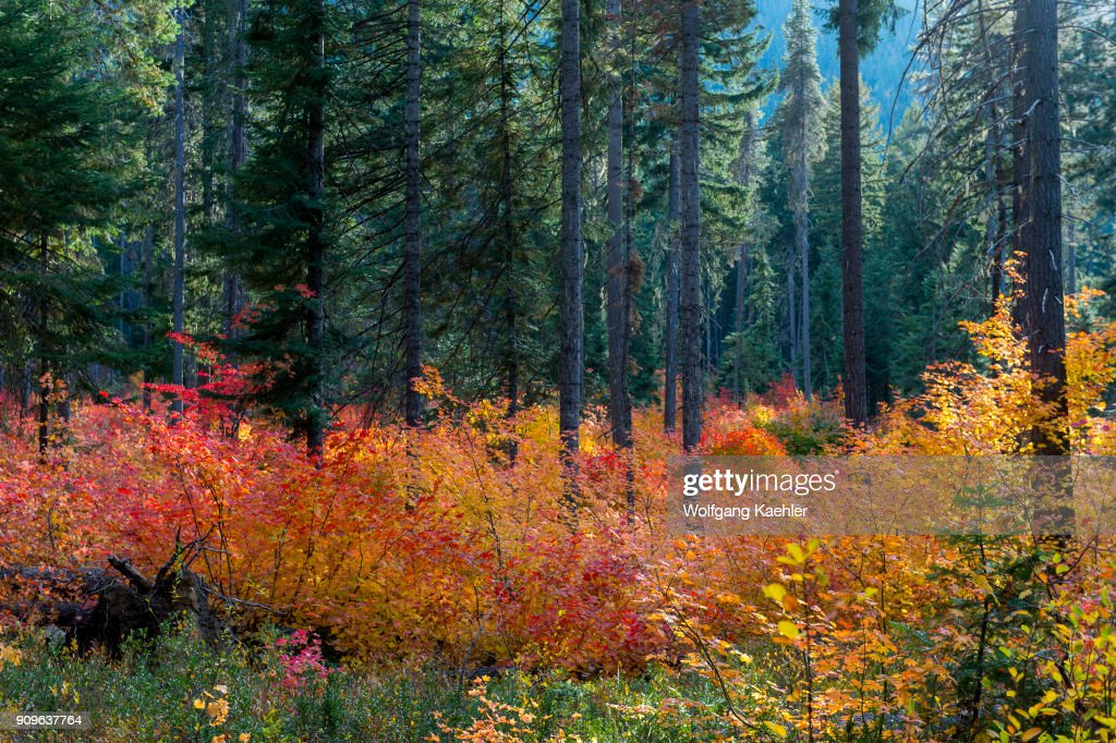 A fall scene with vine maple trees at lake wenatchee state a fall scene with vine maple trees at lake wenatchee state park in eastern washington state sciox Choice Image