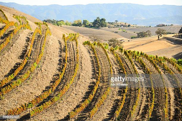 fall vines on slope in los olivos, california - santa barbara stock photos and pictures