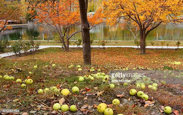 fallen apples and a lake - gilgit baltistan stock photos and pictures