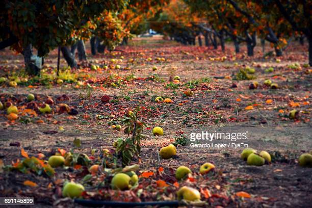 Fallen Apples And Dry Leaves On Field During Autumn