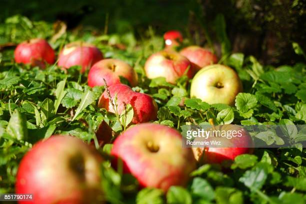 Fallen apples in orchard garden meadow