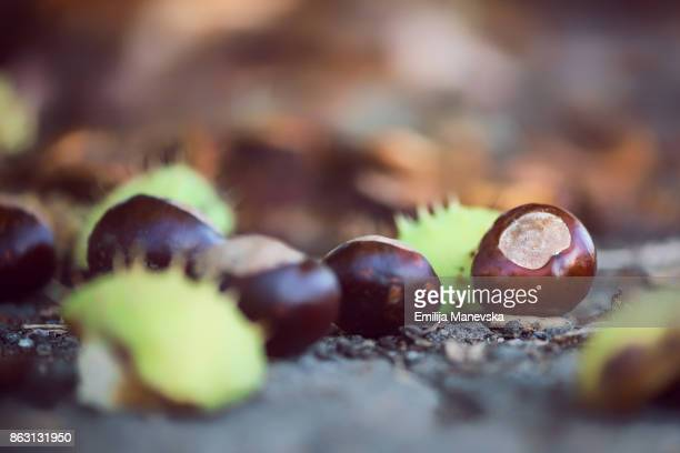 Fallen autumn leaves, conkers and conker shells