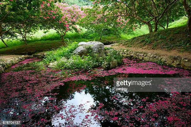 fallen blossoms in the pond - crepe myrtle tree stock pictures, royalty-free photos & images