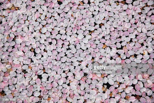 Fallen Cherry Blossom Petals, Hirosaki, Japan