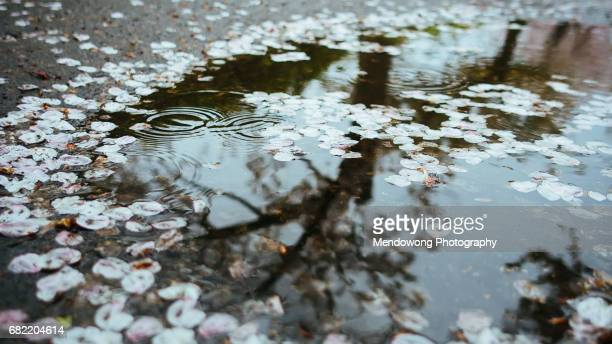 fallen cherry blossom petals - reflection pool stock pictures, royalty-free photos & images