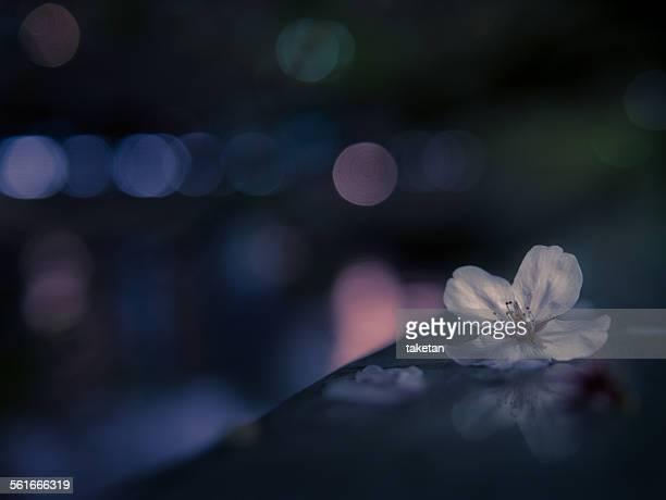 Fallen cherry blossoms