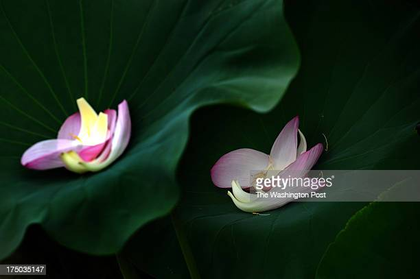 National Flower India Stock Photos And Pictures Getty Images