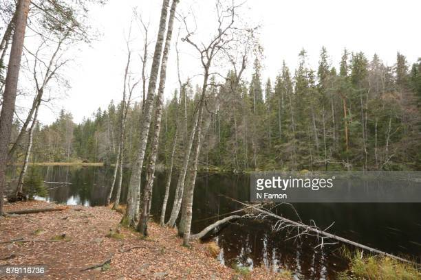 Fallen fir trees by the side of a lake in Finland