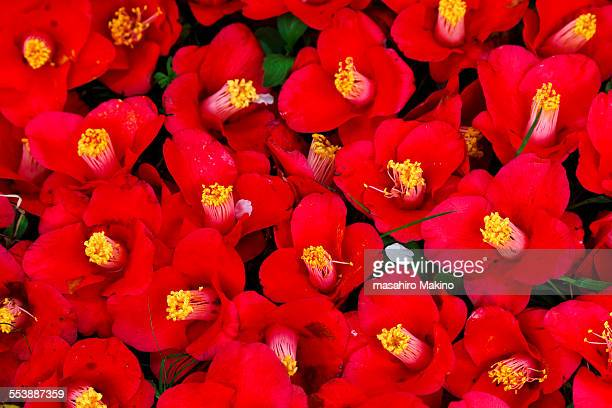 Camellia Japonica Stock Pictures Royalty Free Photos Images