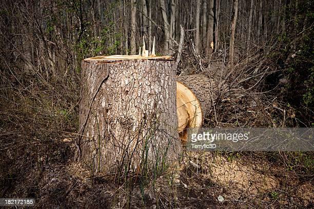 fallen giant - big old tree cut down - terryfic3d stockfoto's en -beelden