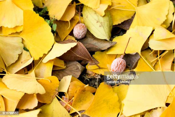 fallen ginkgo leaves and seeds - ginkgo tree stock pictures, royalty-free photos & images