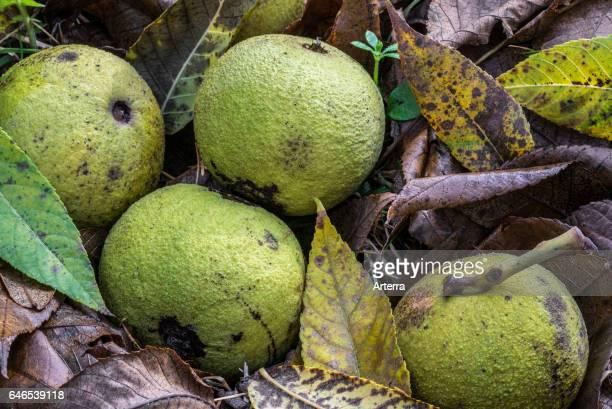 black walnut tree poem