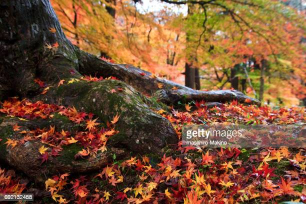 Fallen Japanese Maple Leaves