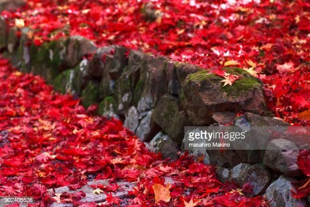 Fallen Japanese Maple Leaves