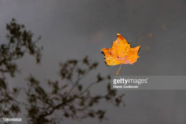 fallen leaf in autumn colors floating on water surface, tree reflection in the water - branch stock pictures, royalty-free photos & images