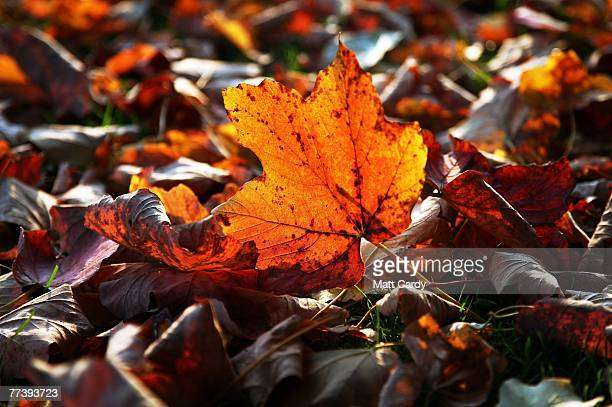 A fallen leaf lies on the ground at Stourhead near Warminster on October 18 2007 in Wiltshire England Tree experts suggest that the very wet summer...