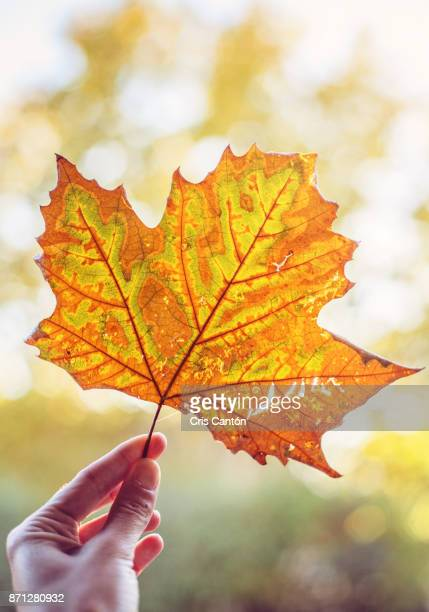 fallen leaf - cris cantón photography stock pictures, royalty-free photos & images