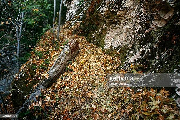Fallen leaves cover a trail as falllike colors appear in summer in southern California's predominantly chaparral habitat rapidly drying in the area's...