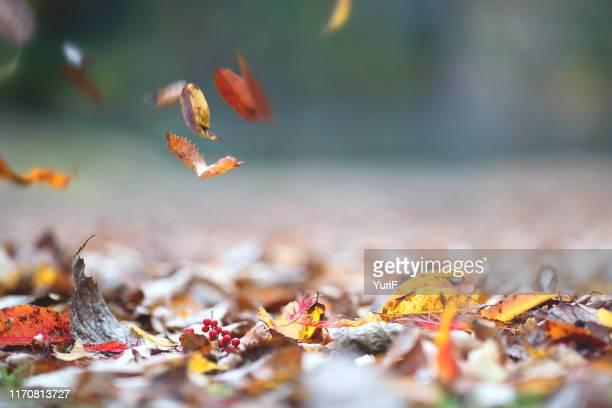 fallen leaves in autumn - 十一月 ストックフォトと画像
