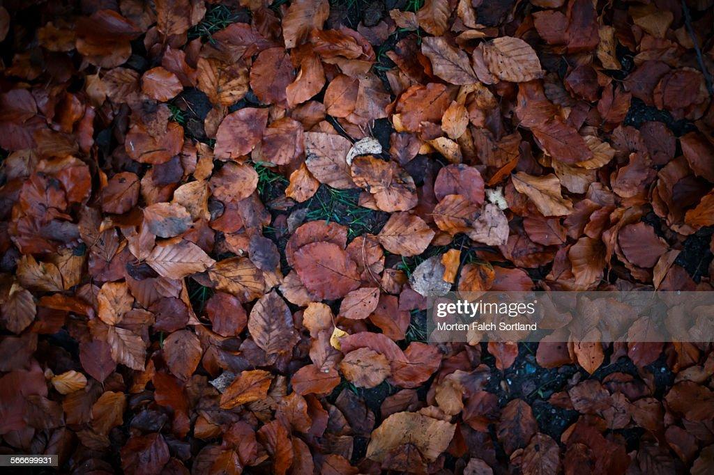 Fallen leaves : Stock Photo