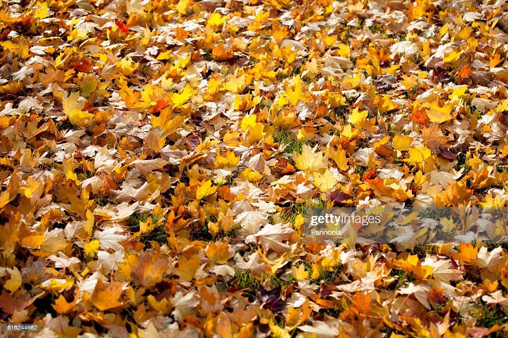 Fallen Blätter  : Stock-Foto