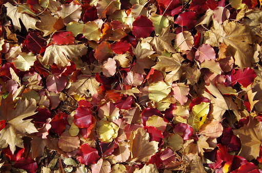 Fallen Manchurian pear tree (Pyrus Ussuriensis) and plane tree leaves on a lawn in autumn - gettyimageskorea
