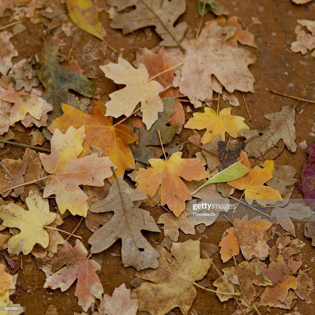 Fallen maple leaves in autumn : Stock Photo