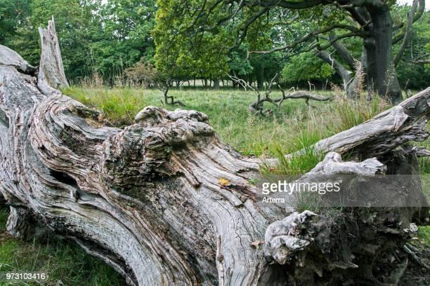 Fallen old English oak / pedunculate oak tree in Jaegersborg Dyrehave / Dyrehaven near Copenhagen Denmark